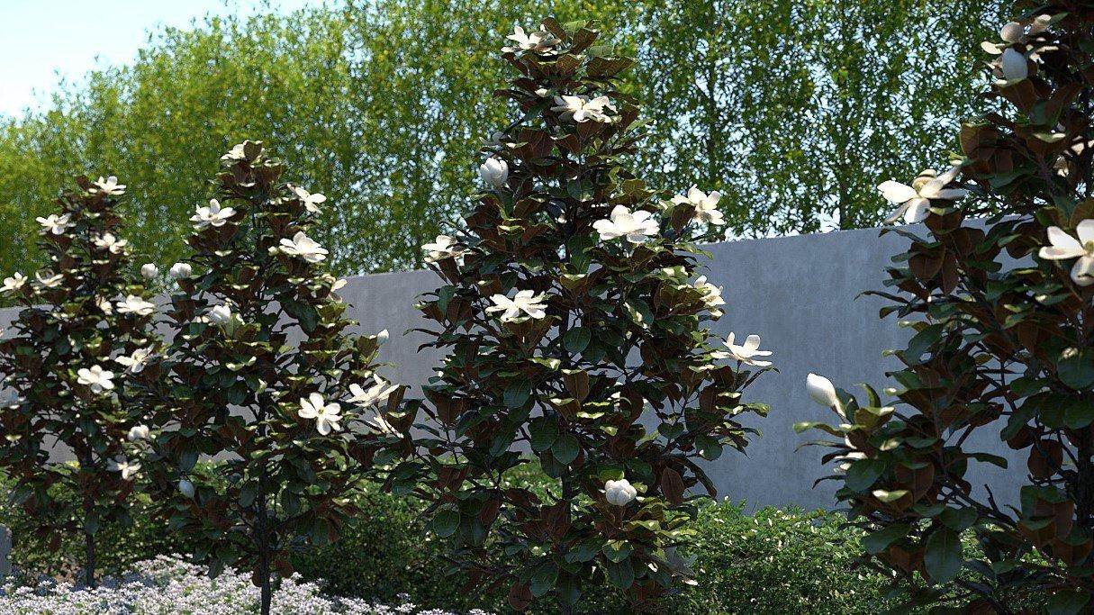 Magnolia Little Gem Blessing Landscapes